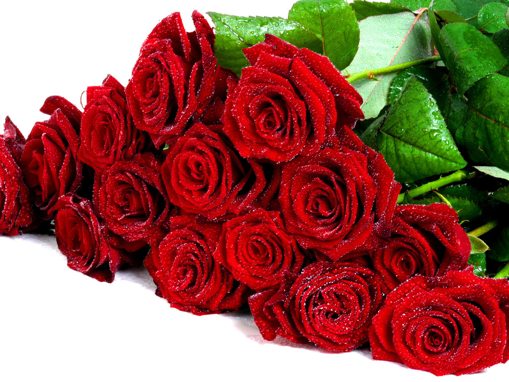 krasivie krasnie rozy