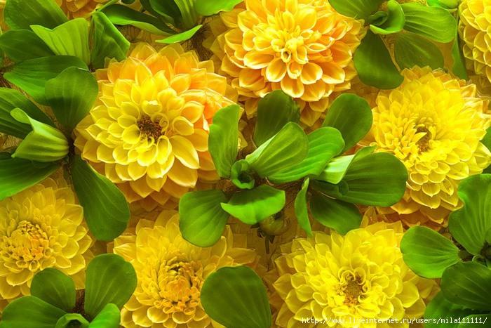 obzor zheltie cvety