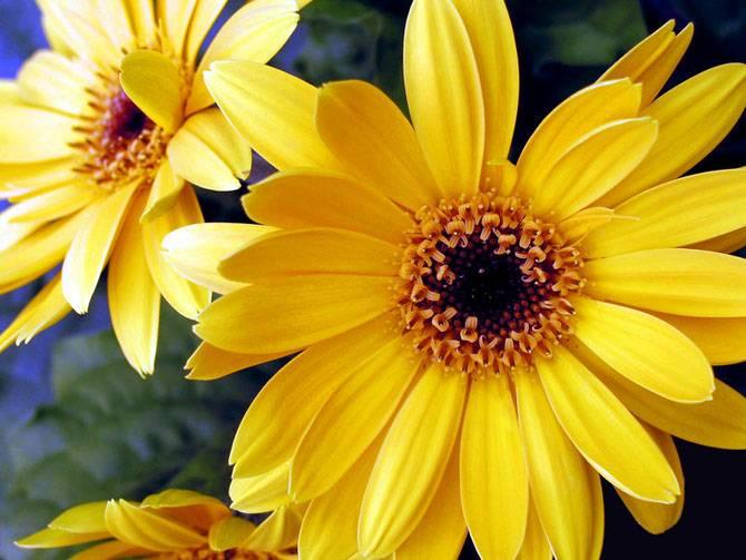 zheltie cvety